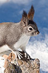 Abert Squirrel with paws on a rock